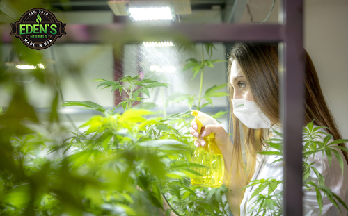 Woman in lab coat watering hemp plants