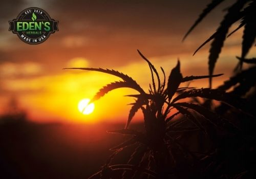 THC bearing hemp plants at sunset