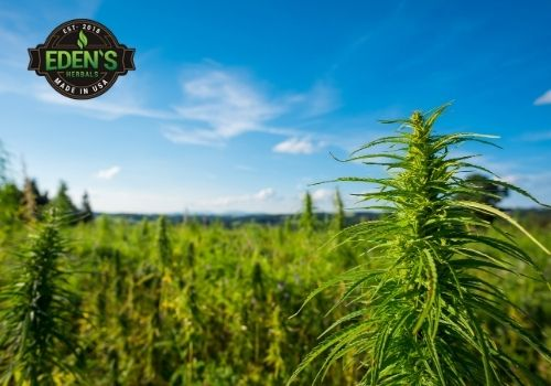 Hemp field for extracting full spectrum CBD oil