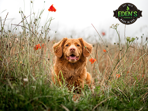 Happy and healthy dog running through field of flowers