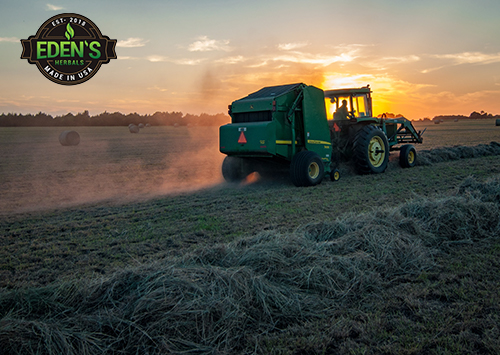 Tractor harvesting all natural hemp at sunset