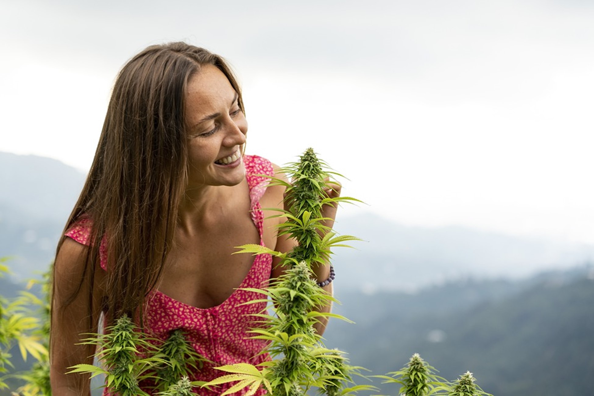 Woman harvesting cannabis plant for CBD production